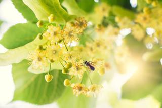菩提樹の花 - コピー - コピー.jpg